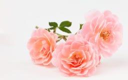 桃红色庭院玫瑰群 库存图片