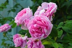 桃红色庭院玫瑰,在绿色背景的午后茶会玫瑰 花卉背景,copyspace 免版税图库摄影