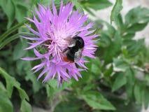桃红色庭院矢车菊和土蜂 免版税图库摄影