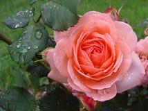 桃红色庭院花上升了 图库摄影