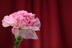 桃红色康乃馨。 库存照片