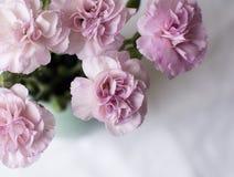 桃红色康乃馨和白色桌布(播种) 库存图片