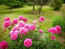 桃红色康乃馨在庭院里 库存照片