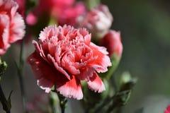 桃红色康乃馨在阳光下 免版税图库摄影