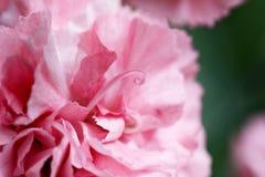 桃红色康乃馨瓣摘要  图库摄影