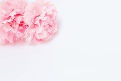 桃红色康乃馨花在白色背景 库存照片