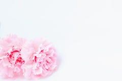 桃红色康乃馨花在白色背景 免版税库存图片