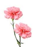 桃红色康乃馨花 库存照片