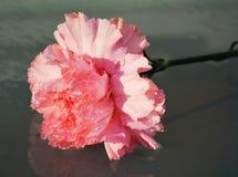 桃红色康乃馨,纤巧的标志 免版税库存照片