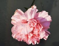桃红色康乃馨,纤巧,特写镜头的标志 免版税库存图片