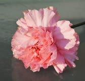 桃红色康乃馨,纤巧,细节的标志 免版税图库摄影