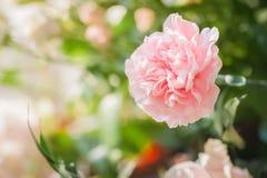 桃红色康乃馨 图库摄影