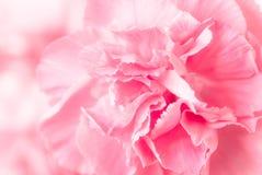桃红色康乃馨 库存图片
