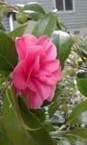 桃红色开放花 库存照片