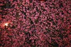 桃红色开花充分的框架和灯或者灯笼 库存图片