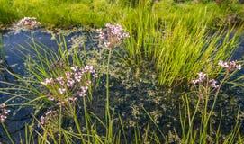 桃红色开花和过分的草仓促 免版税图库摄影