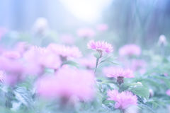 桃红色开花在柔和的蓝色背景的矢车菊在阳光下 有选择性的软的焦点 库存照片