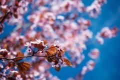 桃红色开花樱桃在一个春日开花 免版税库存照片