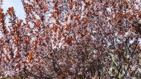 桃红色开花洋李分支,李属cerasifera老黑,在春季期间 影视素材