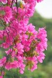 桃红色开花的九重葛花 库存照片