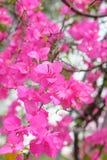 桃红色开花的九重葛花 免版税库存图片
