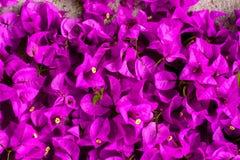 桃红色开花的九重葛 免版税库存图片