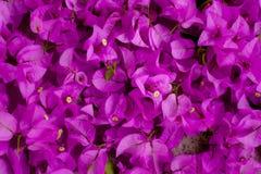桃红色开花的九重葛 库存照片