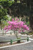 桃红色开花的树在公园 免版税库存图片