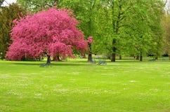 桃红色开花的树 免版税图库摄影