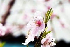 桃红色开花的桃子花 免版税图库摄影