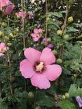桃红色开花的沙仑的玫瑰花灌木 免版税库存图片