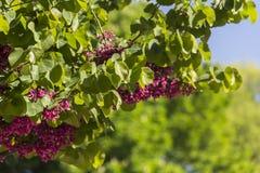 桃红色开花的淡紫色树 免版税库存照片
