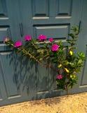 桃红色开花的灌木通过在混凝土的裂缝增长 库存图片