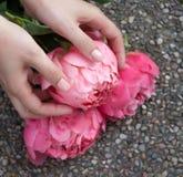 桃红色开花的牡丹在手上 免版税库存照片