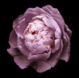 桃红色开花的牡丹花的芽 在黑背景的被隔绝的花与没有阴影的裁减路线 对设计 免版税库存图片