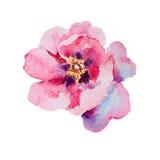 桃红色开花的牡丹水彩 免版税图库摄影