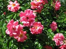 桃红色开花的玫瑰丛 免版税库存图片