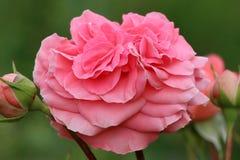桃红色开花的玫瑰色背景 免版税库存图片