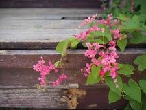 桃红色开花的珊瑚藤在木背景开花 免版税库存图片