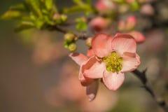 桃红色开花的花 库存图片