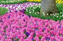 桃红色开花的风信花电灯泡在Keukenhof,荷兰庭院里  免版税库存照片