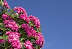 桃红色开花的hawthorne在春天 库存照片