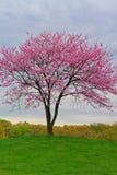 桃红色开花的Redbud树 免版税库存图片