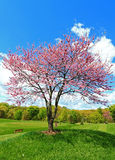 桃红色开花的Redbud树 库存照片