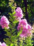 桃红色开花蓬松云彩在太阳,明亮地点燃的灌木的高分支的发出光线 库存照片