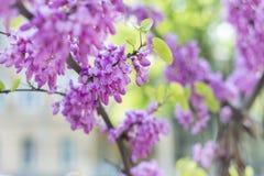 桃红色开花紫藤 库存图片