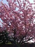 桃红色开花 库存图片