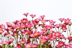 桃红色开花Saxifrage 免版税库存图片