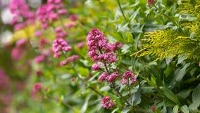 桃红色拔地响花Centranthus ruber在春天英国村庄庭院里 免版税库存照片