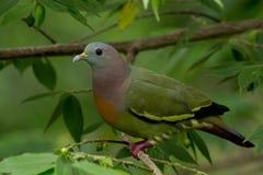 桃红色收缩的绿色鸽子 免版税库存图片